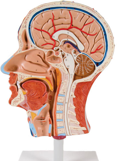 sectional models of the human head