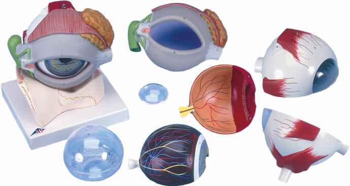 Budget Giant Human Eye Models