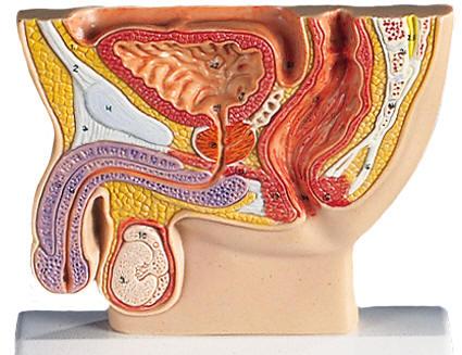 Male Pelvis Models / Male Sex Organs